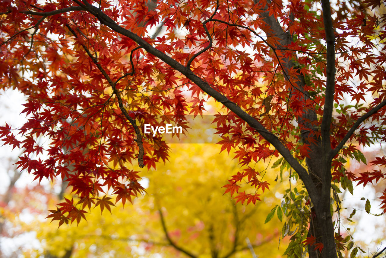 tree, autumn, plant, change, branch, plant part, beauty in nature, leaf, growth, orange color, nature, day, no people, low angle view, maple tree, outdoors, maple leaf, tranquility, close-up, red, natural condition, leaves, autumn collection, fall, tree canopy