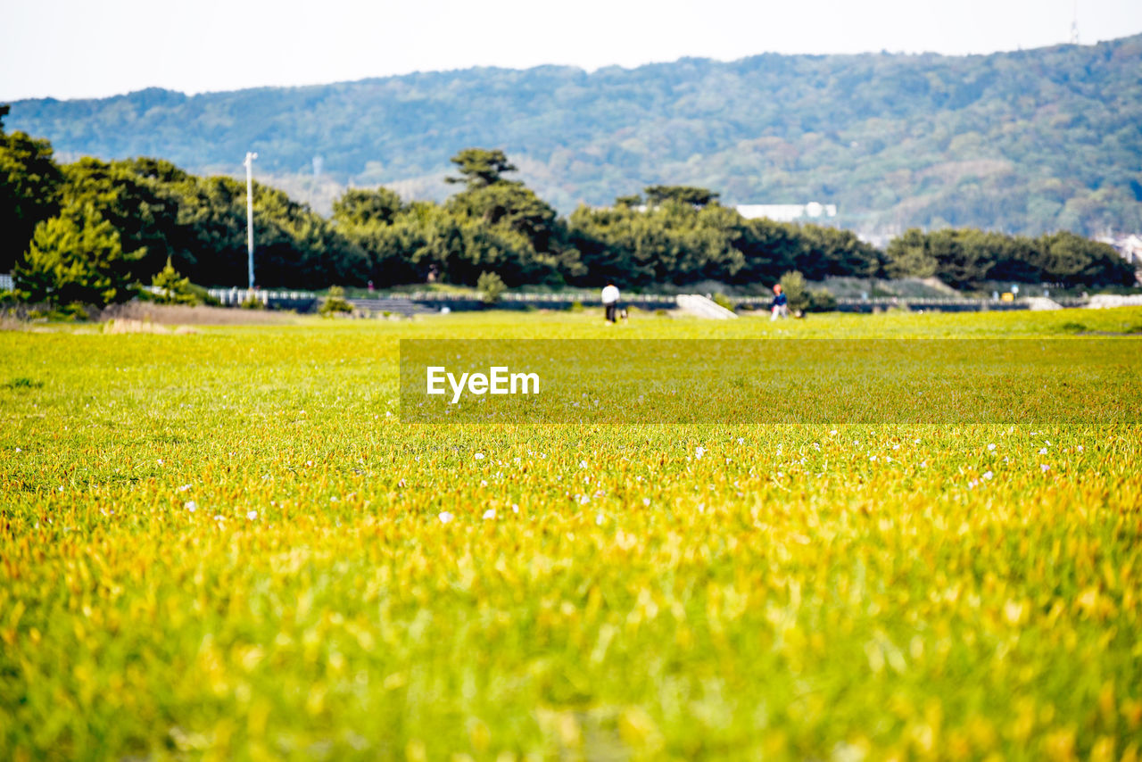 field, nature, grass, beauty in nature, tranquil scene, landscape, tranquility, day, scenics, growth, selective focus, green color, outdoors, tree, agriculture, no people, rural scene, playing field, mountain, freshness, sky, close-up