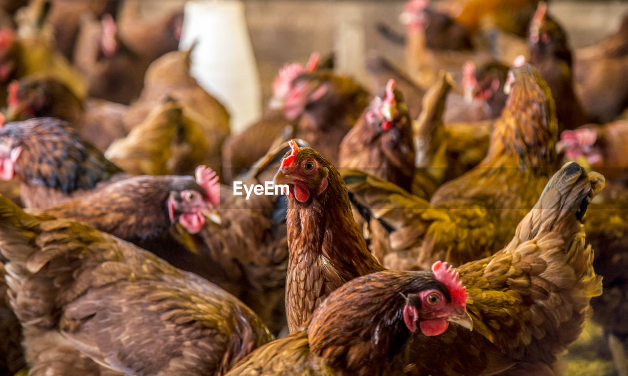 Flock of hens in pen