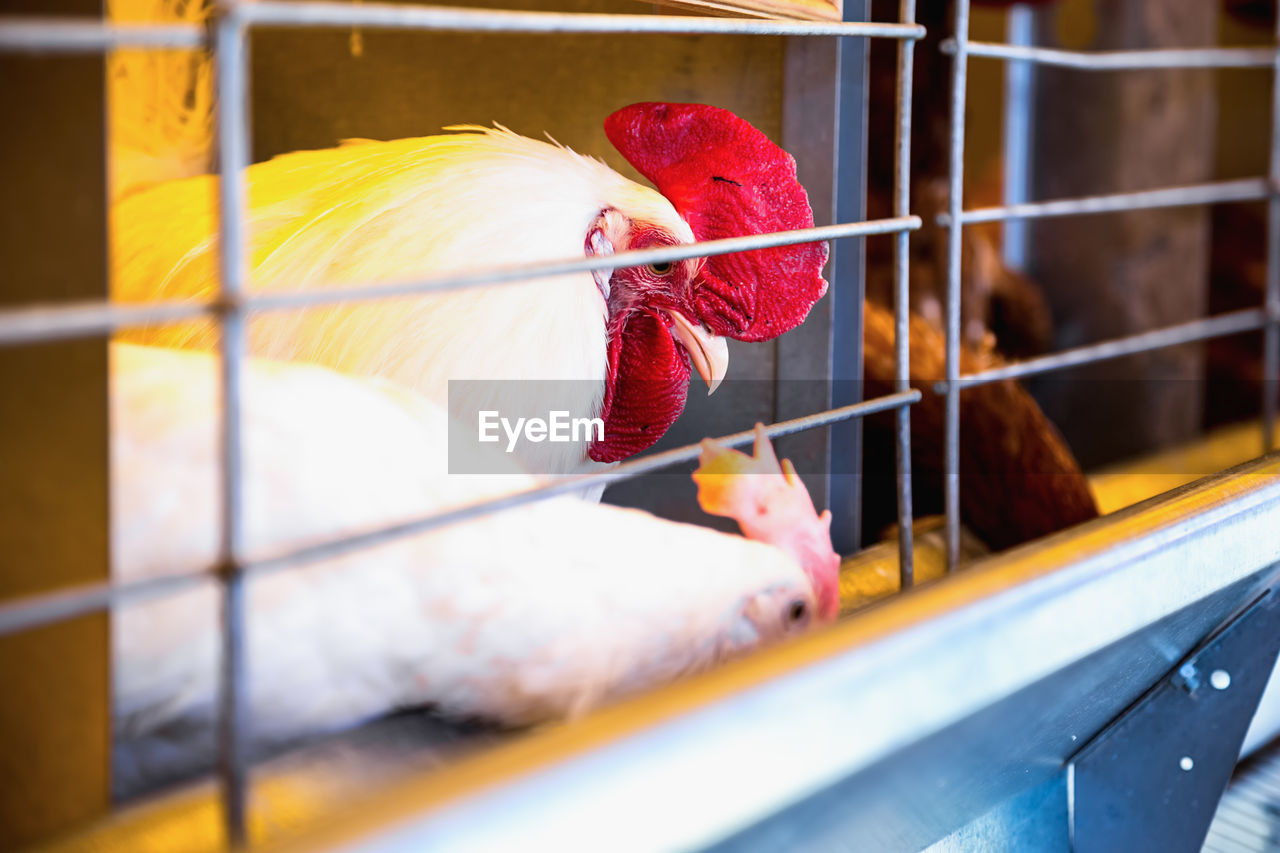 Chicken Birds In Cage At Poultry Farm