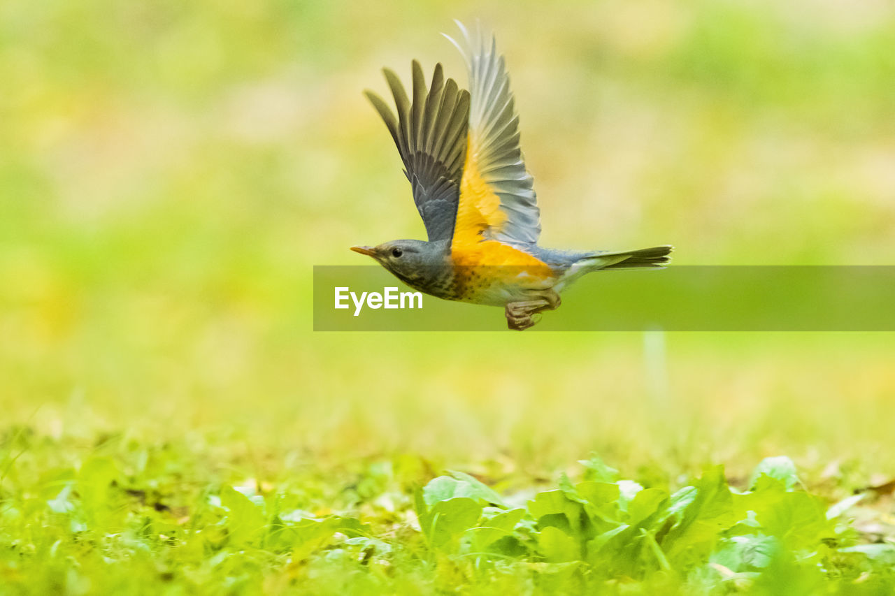 animal themes, bird, animal, animal wildlife, animals in the wild, one animal, flying, vertebrate, spread wings, mid-air, green color, beauty in nature, day, nature, plant, no people, motion, selective focus, yellow, field, outdoors, flapping