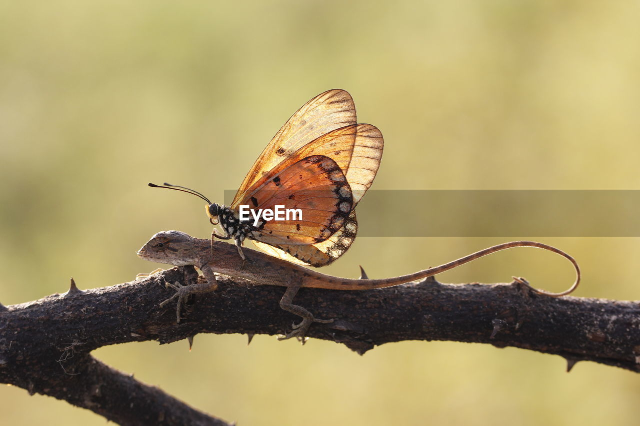 animal wildlife, animal themes, insect, animals in the wild, animal, one animal, invertebrate, focus on foreground, animal wing, butterfly - insect, day, plant, close-up, beauty in nature, no people, nature, branch, outdoors, perching, tree, butterfly