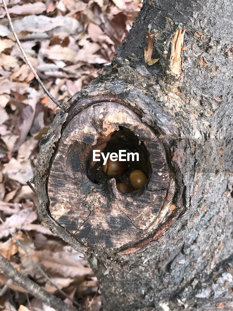 close-up, no people, nature, tree, day, animal wildlife, animal, textured, animal themes, wood - material, animals in the wild, outdoors, tree trunk, trunk, selective focus, food, plant, acorn, mollusk, high angle view