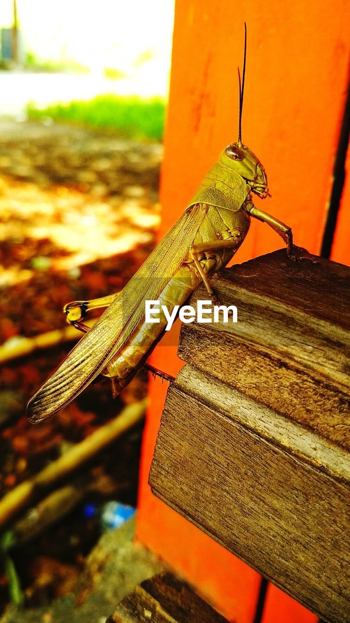 one animal, animal themes, animals in the wild, orange color, animal wildlife, insect, close-up, focus on foreground, outdoors, no people, day, grasshopper, nature, reptile