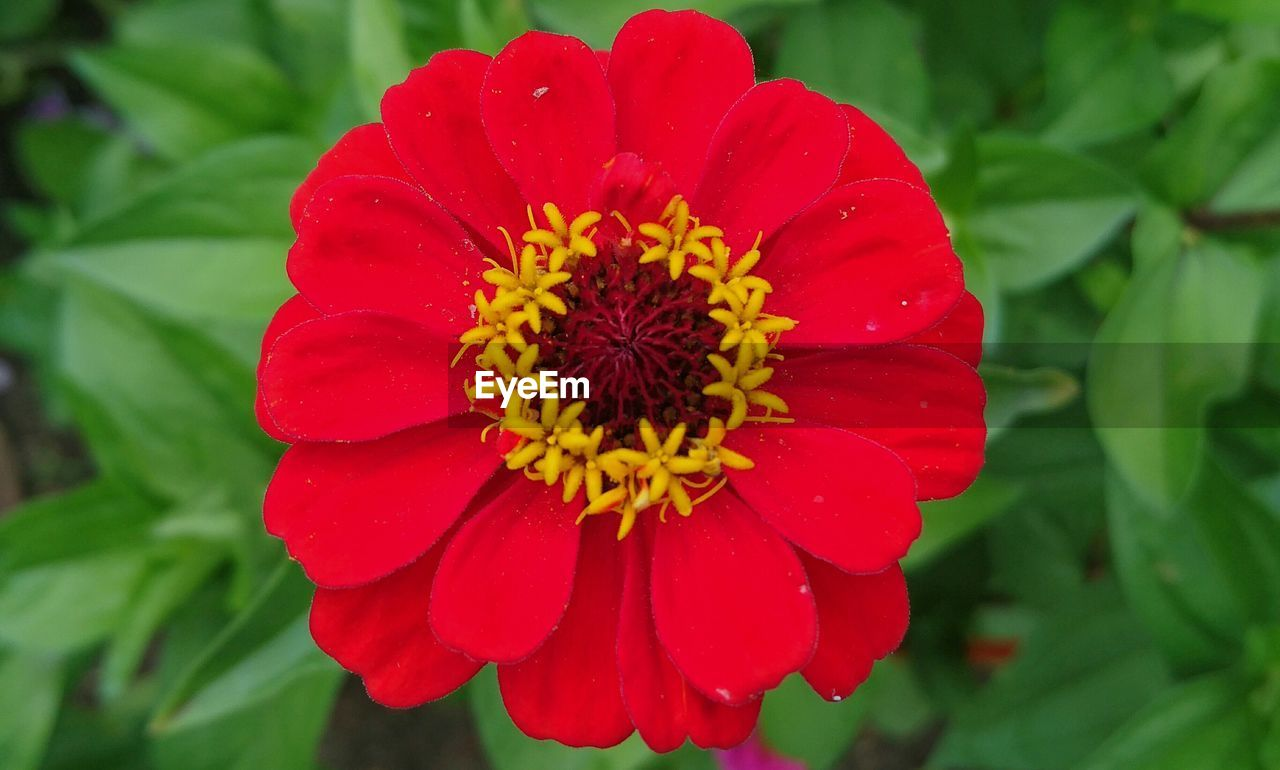 flower, petal, beauty in nature, nature, flower head, fragility, growth, freshness, plant, red, blooming, zinnia, pollen, no people, close-up, day, outdoors