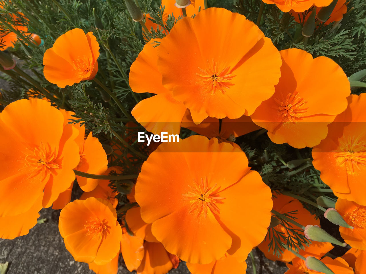 orange color, flower, petal, beauty in nature, flower head, fragility, nature, freshness, growth, plant, outdoors, no people, day, blooming, close-up, hibiscus
