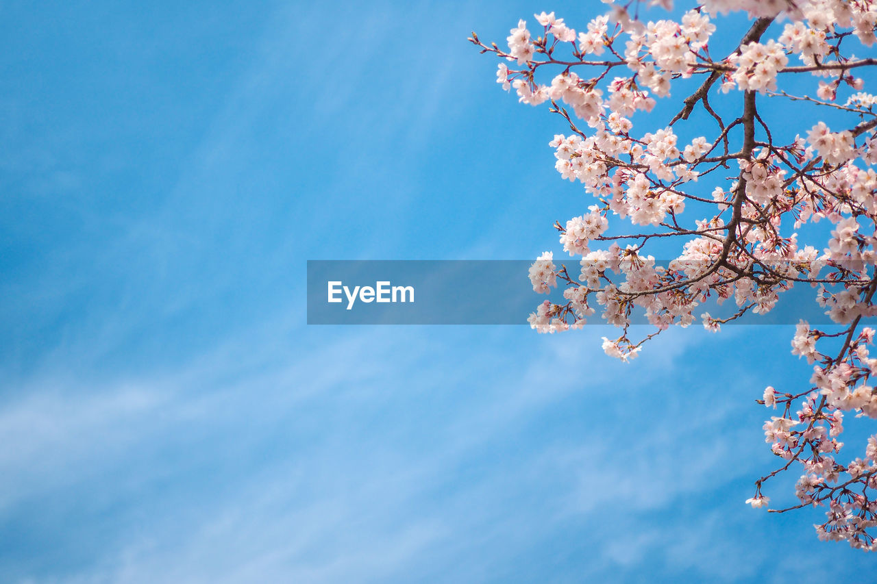 low angle view, tree, beauty in nature, sky, plant, branch, growth, nature, flower, fragility, freshness, flowering plant, day, blossom, no people, springtime, blue, vulnerability, pink color, cloud - sky, cherry blossom, outdoors, cherry tree