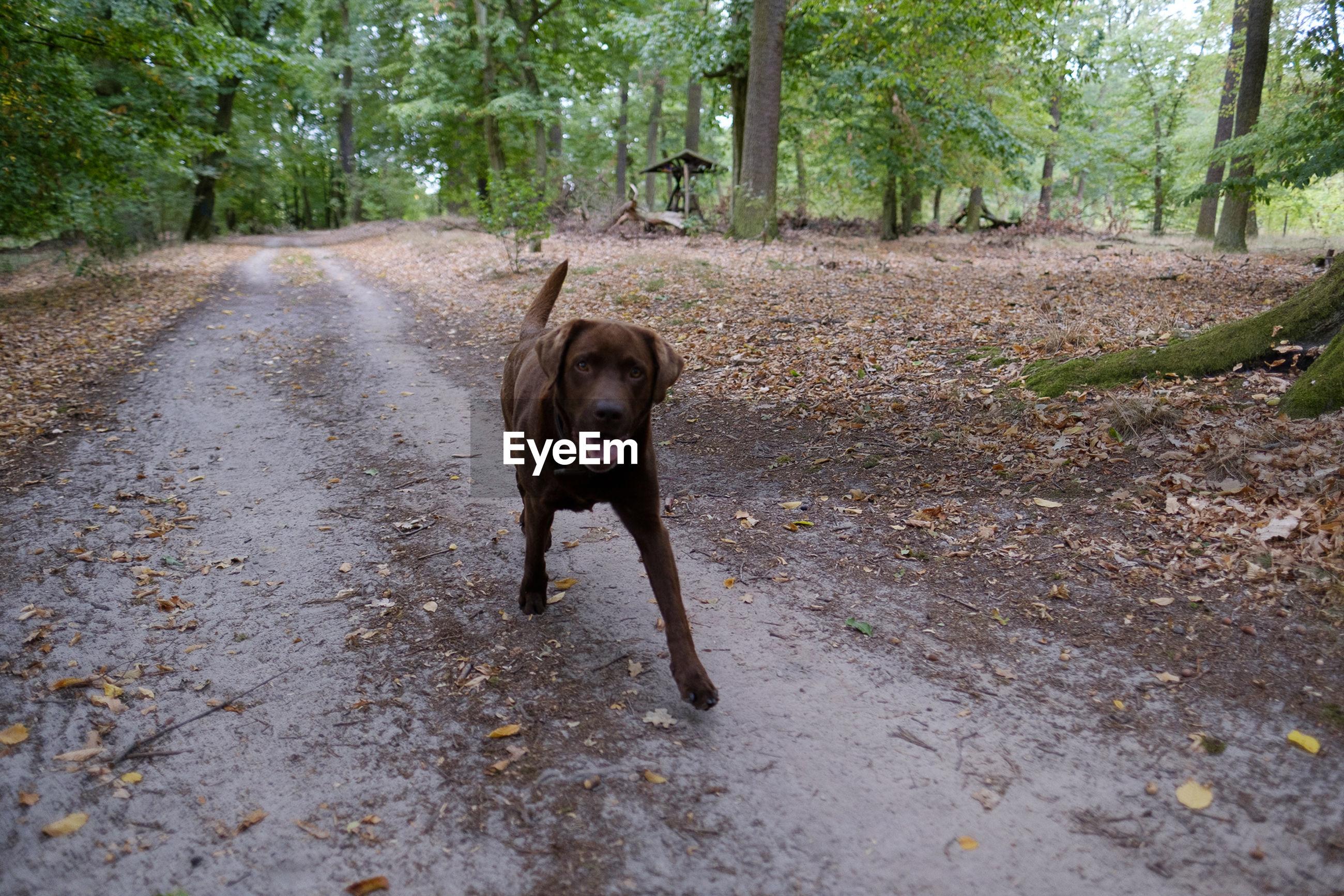PORTRAIT OF DOG RUNNING ON DIRT ROAD