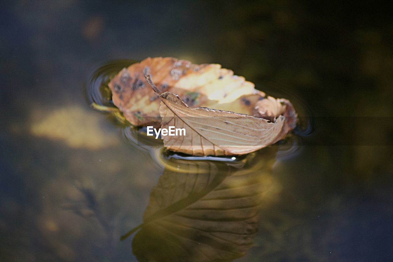 water, animal wildlife, animal themes, animals in the wild, animal, one animal, plant part, lake, leaf, close-up, nature, day, floating, reflection, selective focus, no people, dry, swimming, floating on water, outdoors, leaves, marine