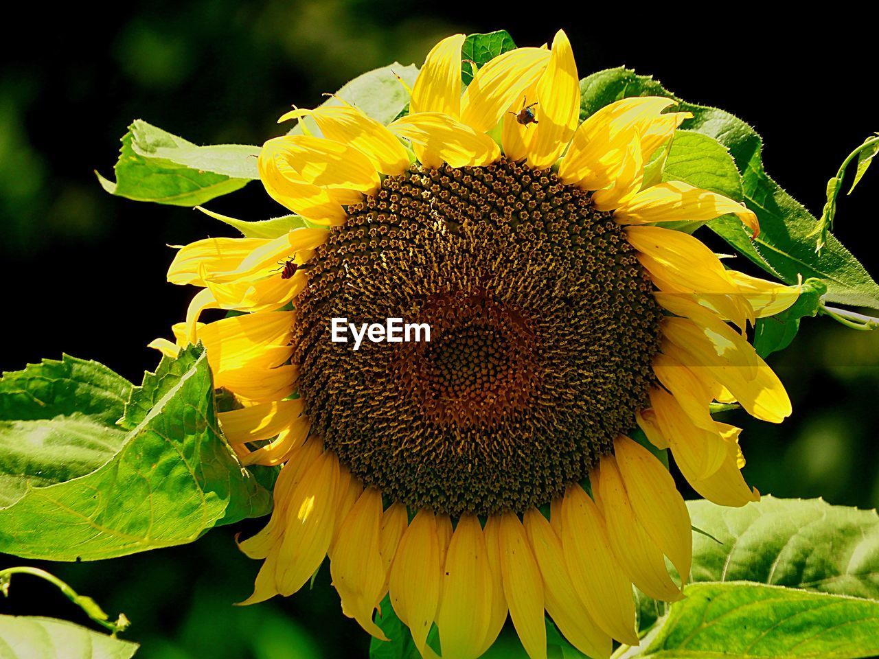 flower, petal, yellow, fragility, flower head, beauty in nature, freshness, growth, nature, plant, close-up, sunflower, pollen, outdoors, blooming, no people, stamen, leaf, day, springtime, black background