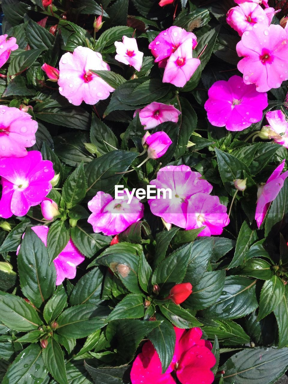 flower, growth, garden, plant, nature, spring, leaf, petal, blooming, no people, foliage, beauty in nature, outdoors, freshness, periwinkle, day