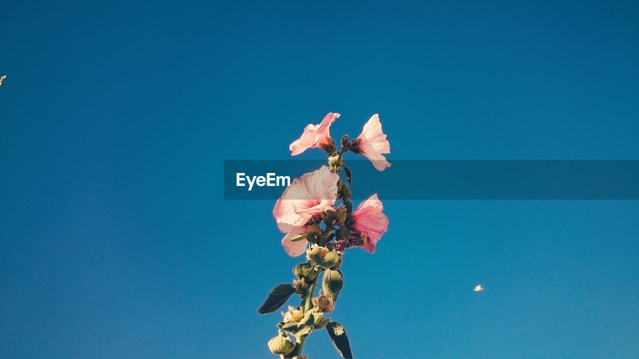Low Angle View Of Pink Flowers Against Clear Blue Sky On Sunny Day