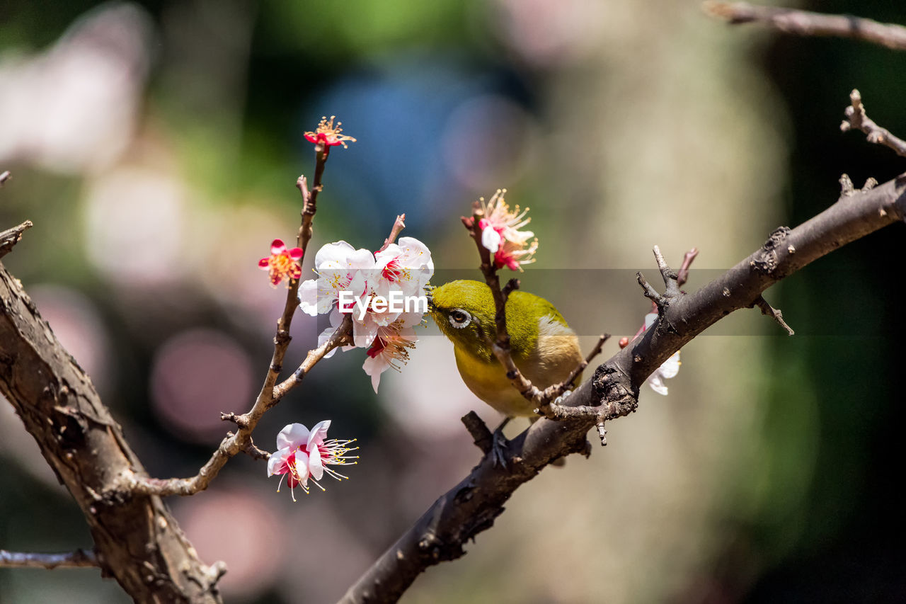 branch, animal themes, plant, flower, animal, animal wildlife, tree, animals in the wild, flowering plant, focus on foreground, growth, fragility, close-up, day, nature, beauty in nature, one animal, vulnerability, invertebrate, no people, outdoors, flower head, springtime, pollination