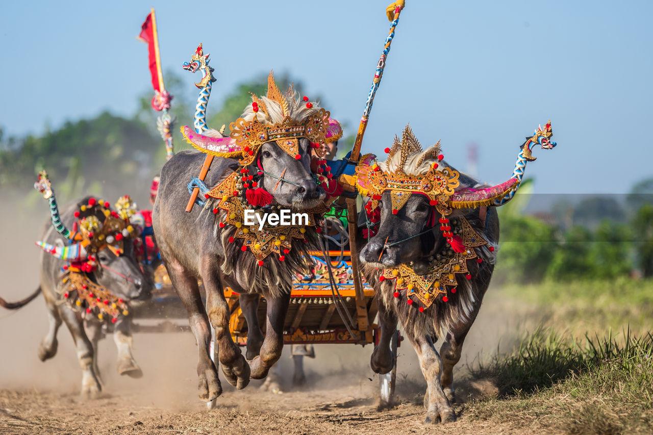 Bullock Cart Race On Dirt Road At Bali