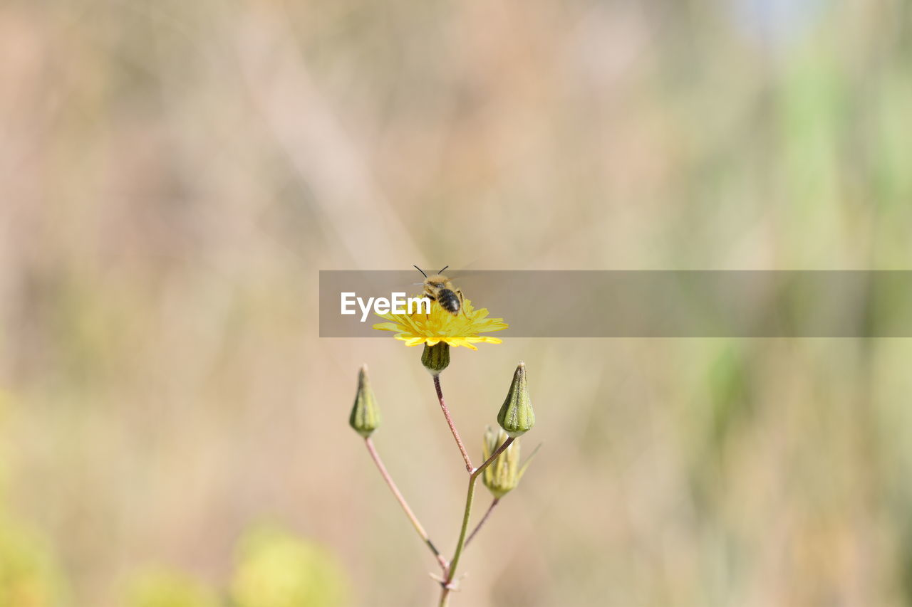 flower, flowering plant, plant, fragility, vulnerability, beauty in nature, freshness, animals in the wild, animal wildlife, growth, animal themes, close-up, focus on foreground, animal, invertebrate, one animal, yellow, insect, nature, day, flower head, no people, pollination, outdoors