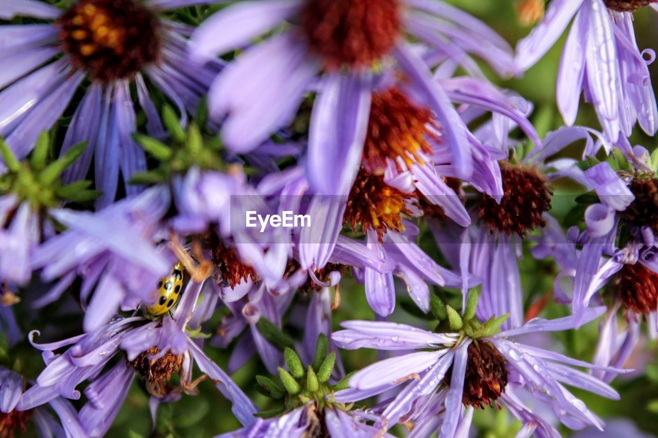 flower, flowering plant, plant, fragility, vulnerability, beauty in nature, growth, petal, freshness, close-up, purple, flower head, nature, inflorescence, no people, insect, pollen, invertebrate, animals in the wild, selective focus, outdoors, pollination