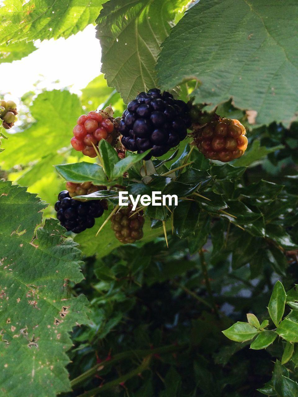 Close-Up Of Blackberries Growing Outdoors