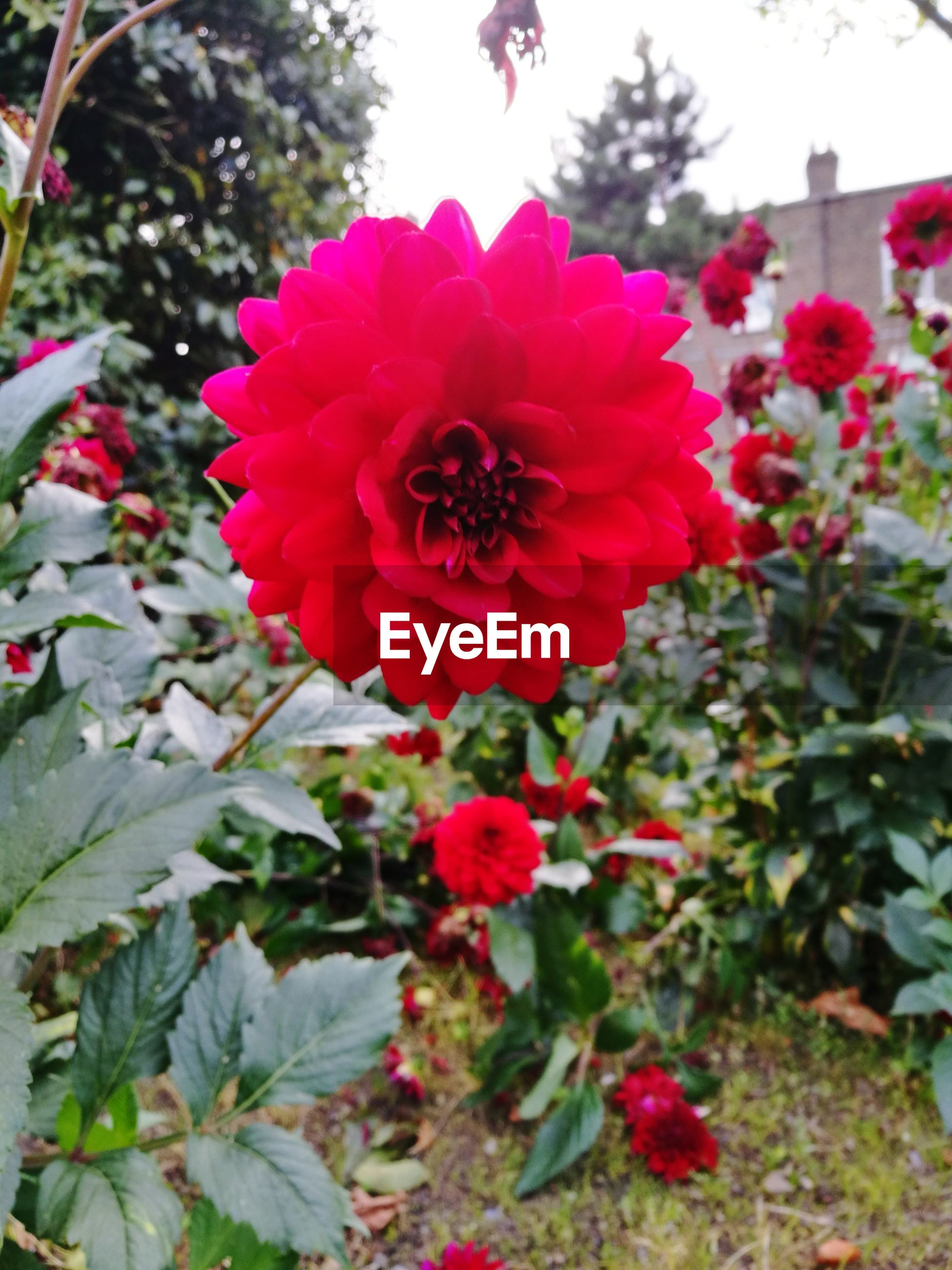 CLOSE-UP OF RED FLOWERS BLOOMING AT PARK