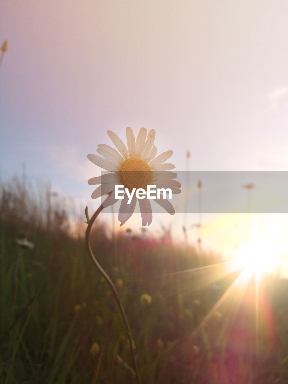 flower, nature, growth, beauty in nature, petal, fragility, sunset, sun, freshness, flower head, field, cosmos flower, plant, no people, outdoors, sunlight, blooming, grass, close-up, day, sky