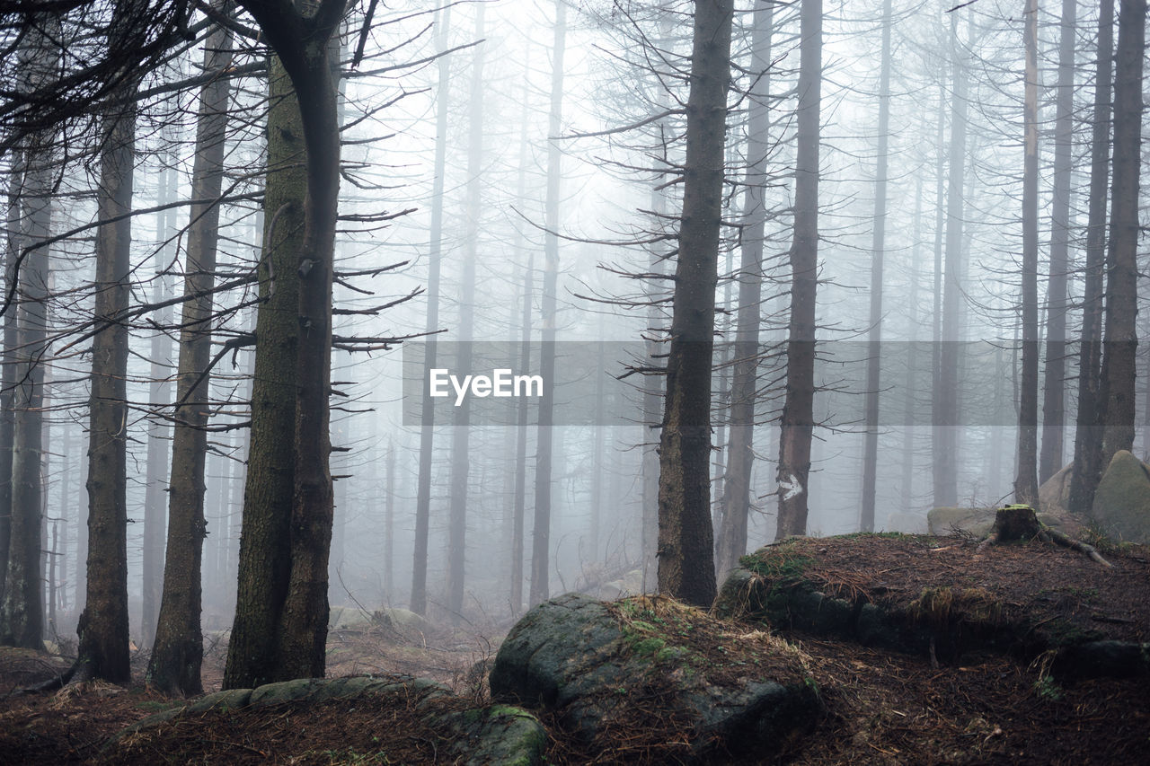 tree, forest, plant, trunk, land, tree trunk, fog, woodland, scenics - nature, tranquil scene, beauty in nature, environment, nature, non-urban scene, no people, growth, landscape, tranquility, pine tree, evergreen tree, pine woodland, coniferous tree, hazy, power in nature