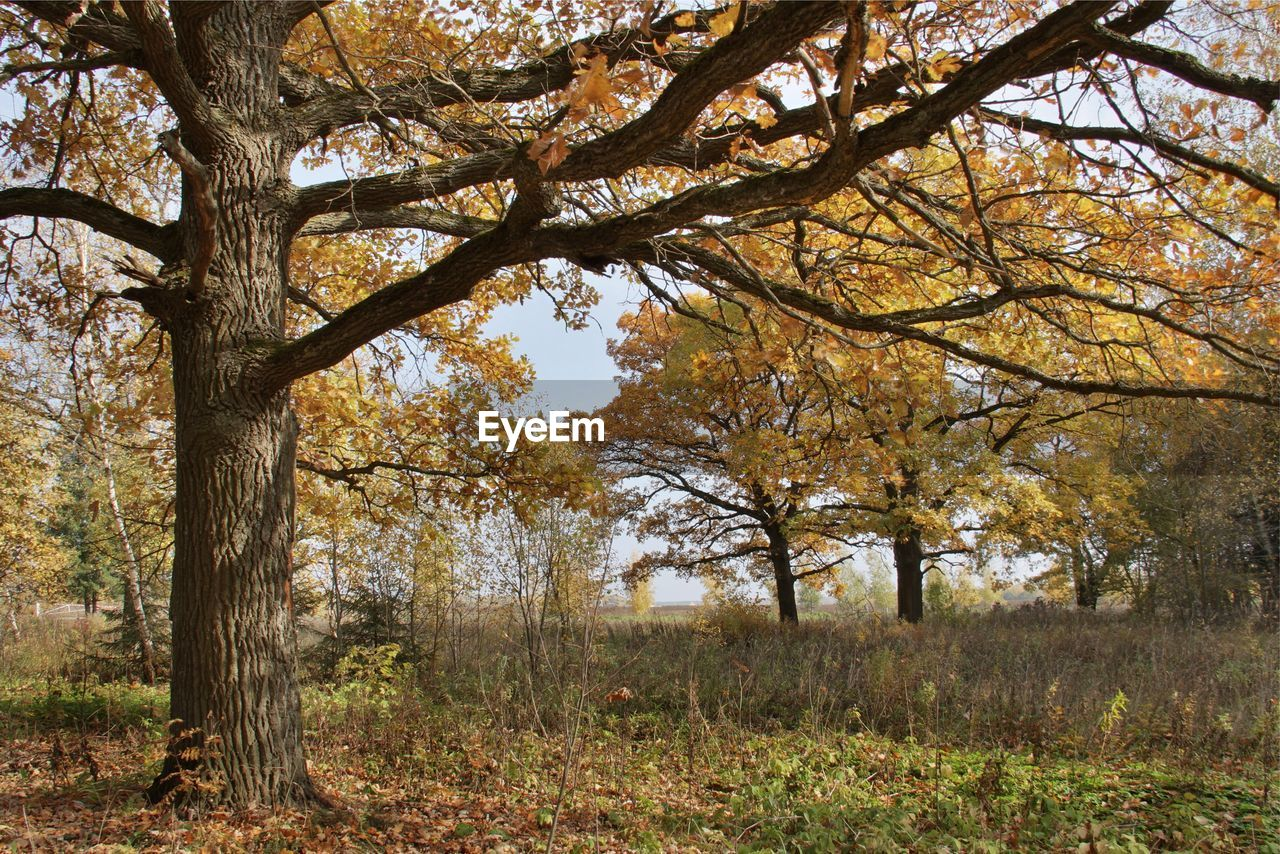 tree, plant, autumn, change, tranquility, beauty in nature, growth, land, tree trunk, trunk, nature, no people, branch, day, scenics - nature, tranquil scene, outdoors, forest, landscape, environment, fall, natural condition