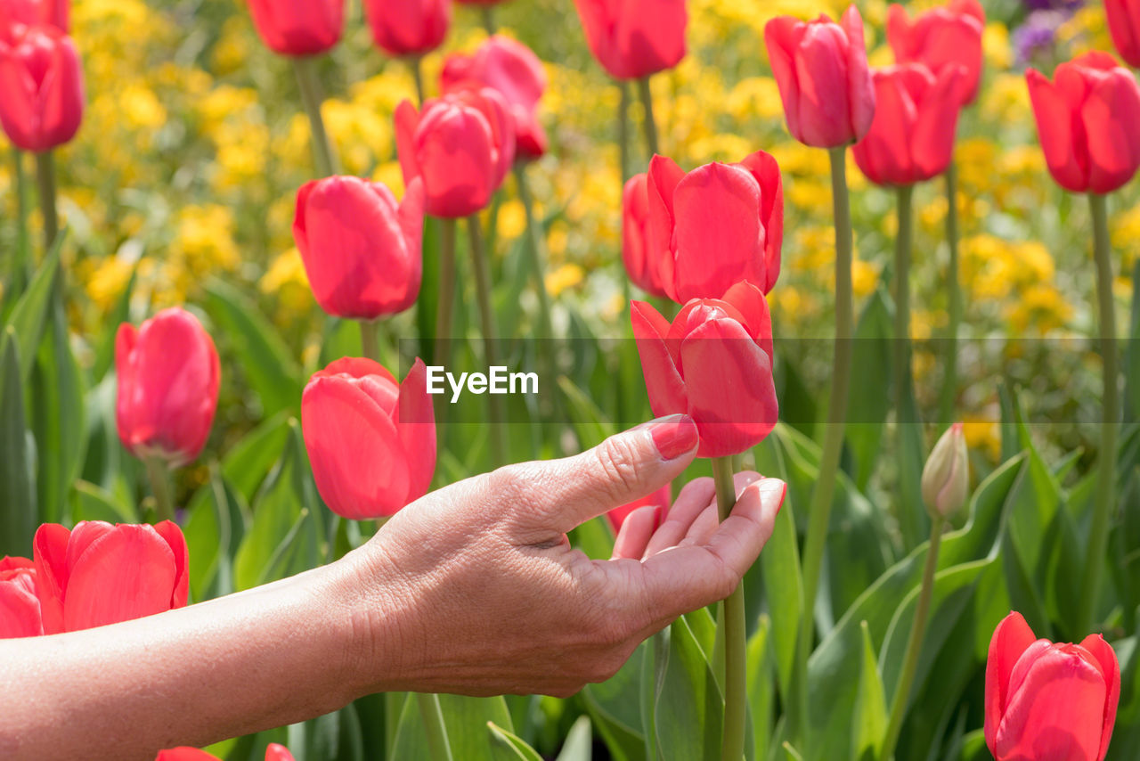 Cropped hand of woman touching red tulip flowers