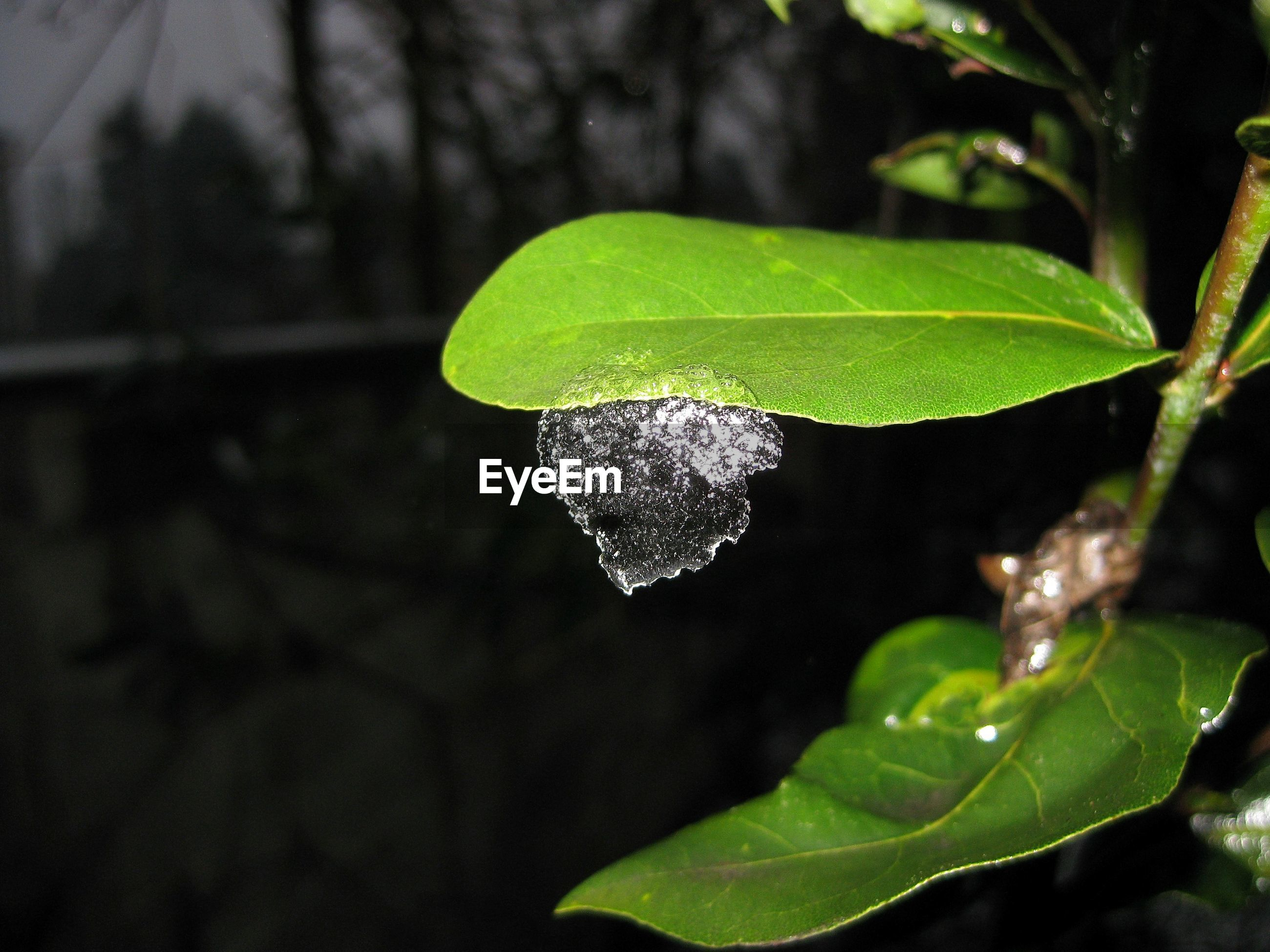 CLOSE-UP OF FRESH GREEN LEAF WITH WATER DROPS