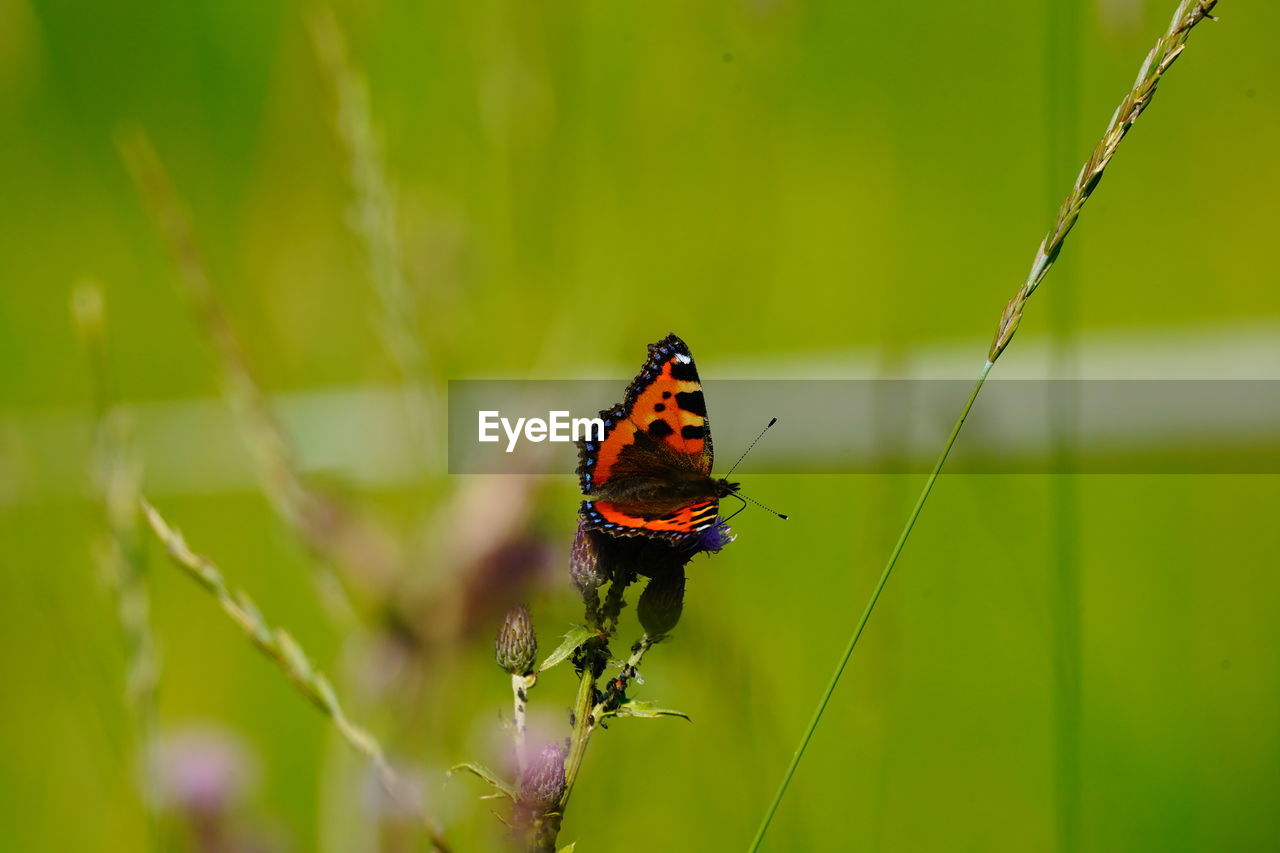 animal wildlife, invertebrate, animal, insect, animal themes, animals in the wild, one animal, green color, beauty in nature, close-up, focus on foreground, plant, animal wing, butterfly - insect, day, nature, growth, no people, vulnerability, fragility, outdoors, butterfly, pollination
