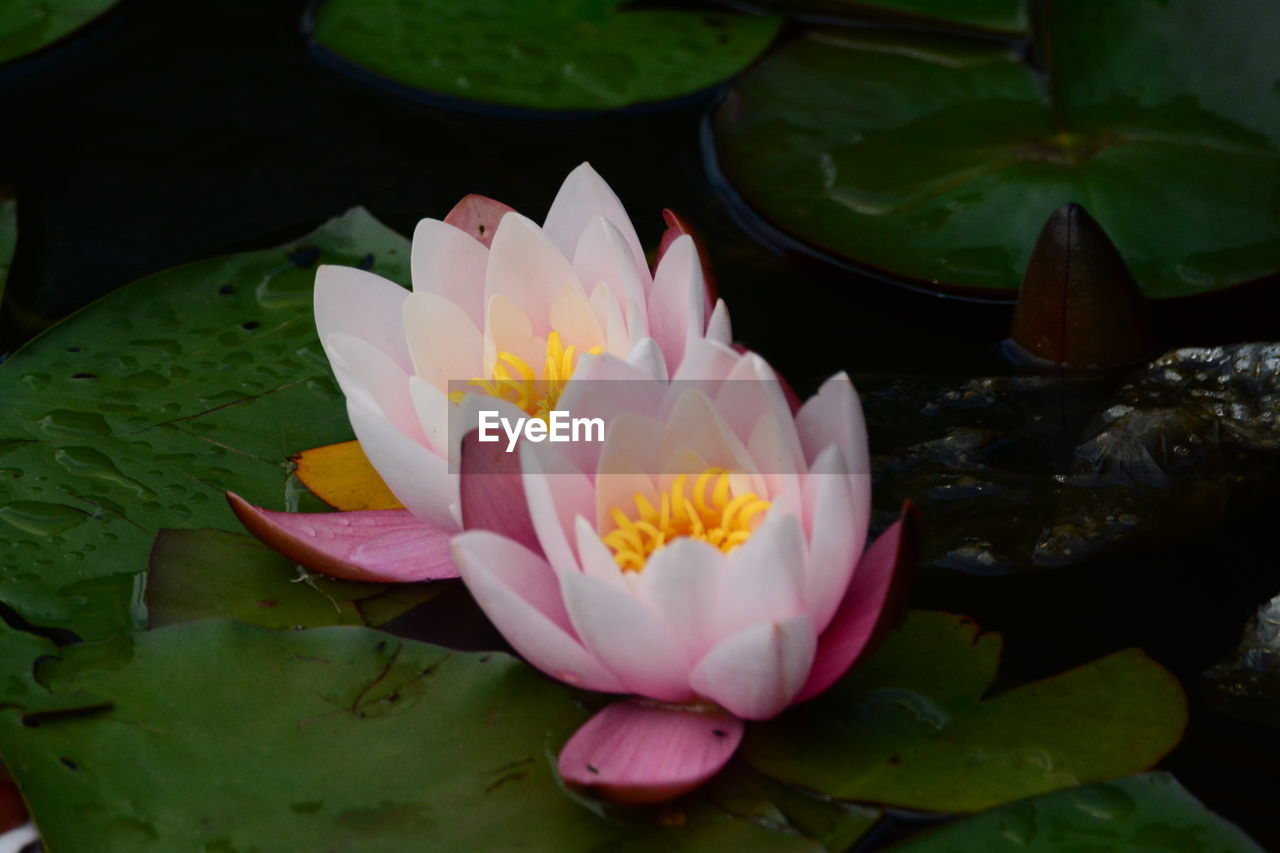 flower, petal, beauty in nature, nature, leaf, freshness, growth, flower head, close-up, lotus water lily, no people, plant, fragility, water lily, water, day, outdoors