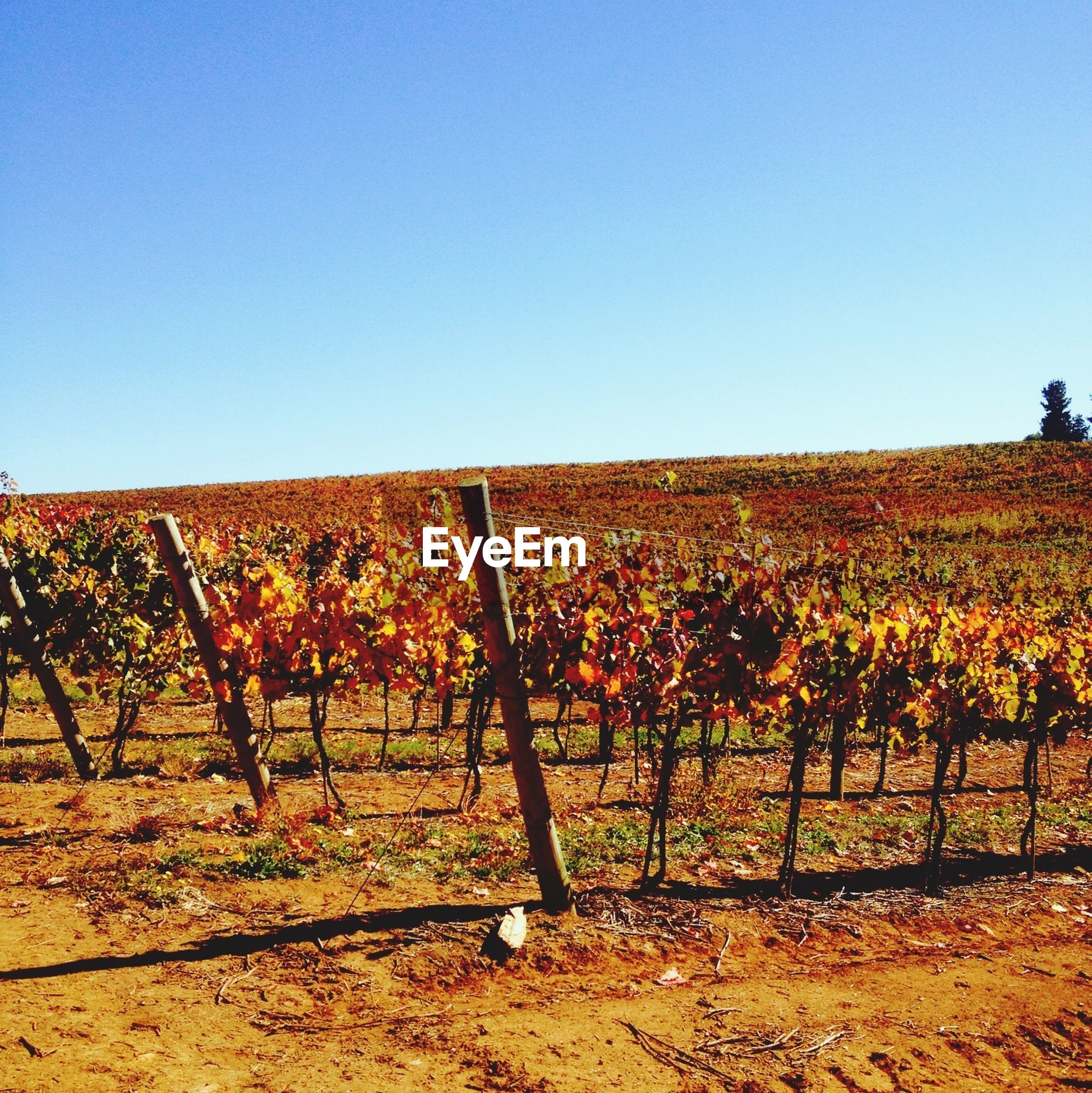 Tranquil view of vineyard against clear blue sky