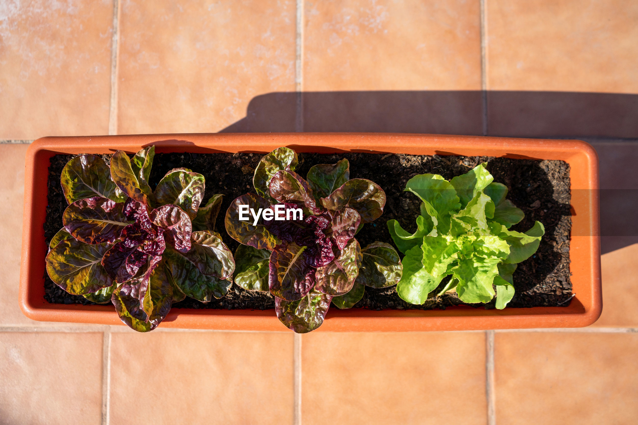 HIGH ANGLE VIEW OF FRESH VEGETABLES ON PLANT AGAINST WALL