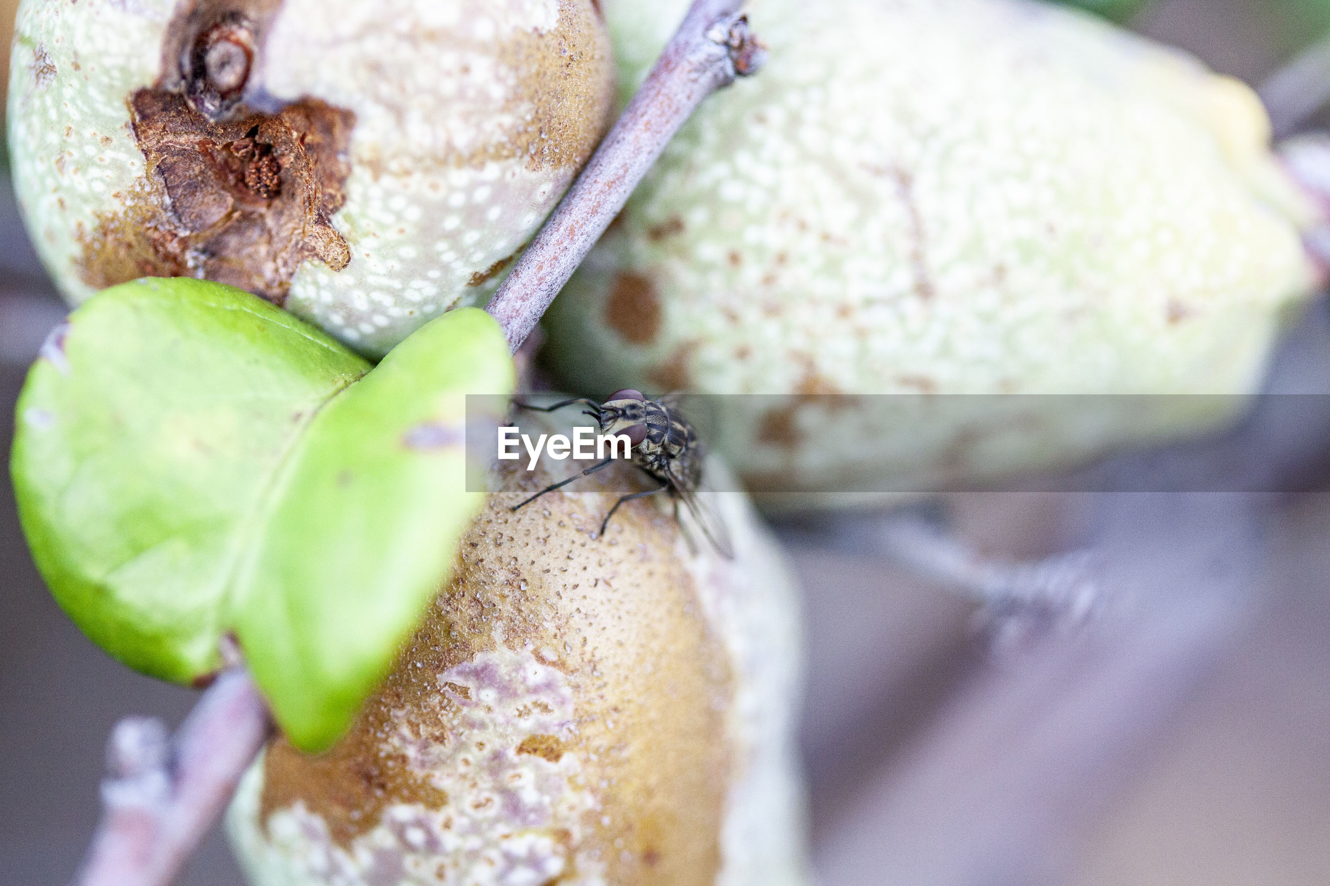 CLOSE-UP OF INSECT ON A FRUIT