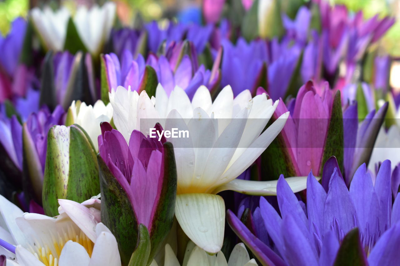flower, beauty in nature, petal, fragility, freshness, nature, purple, flower head, growth, white color, no people, springtime, close-up, blossom, day, blooming, outdoors, plant, backgrounds, hyacinth, crocus