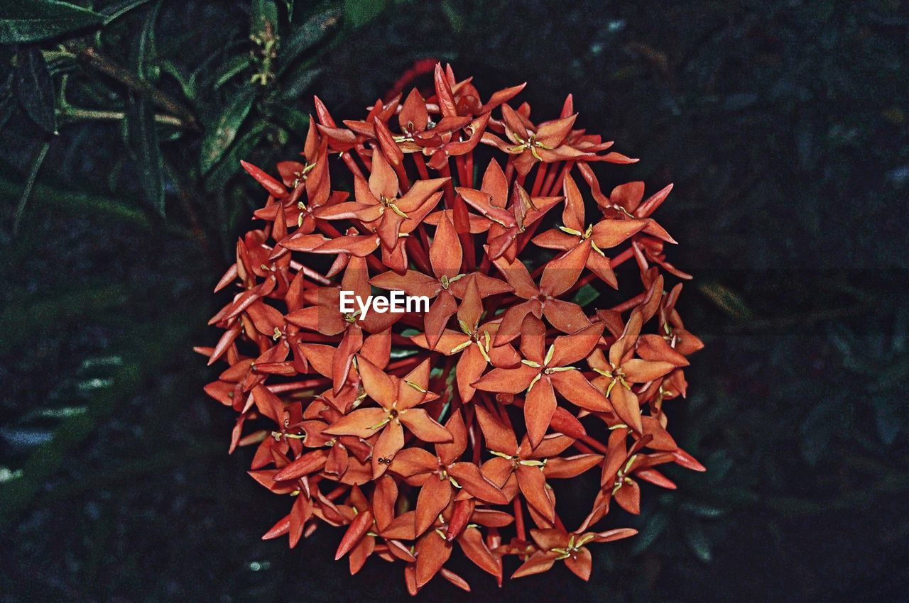 growth, freshness, nature, ixora, flower, plant, beauty in nature, red, petal, day, flower head, outdoors, no people, close-up, fragility