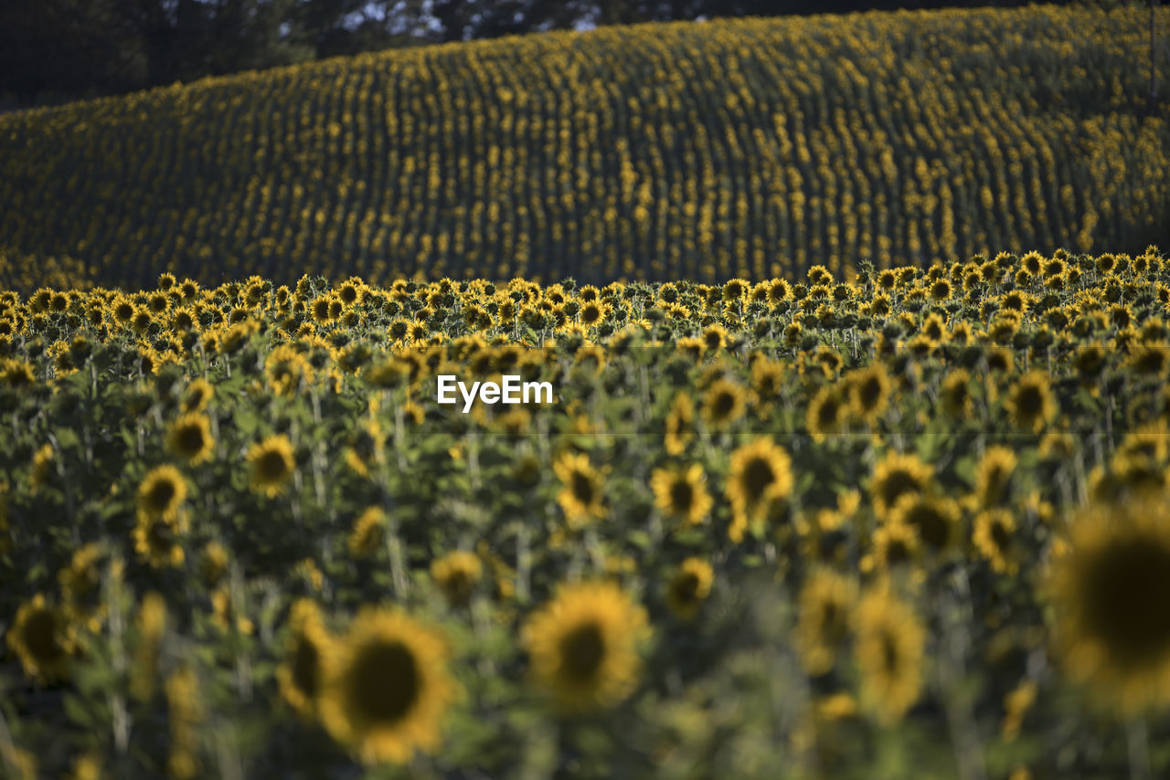 Sunflowers In Farm