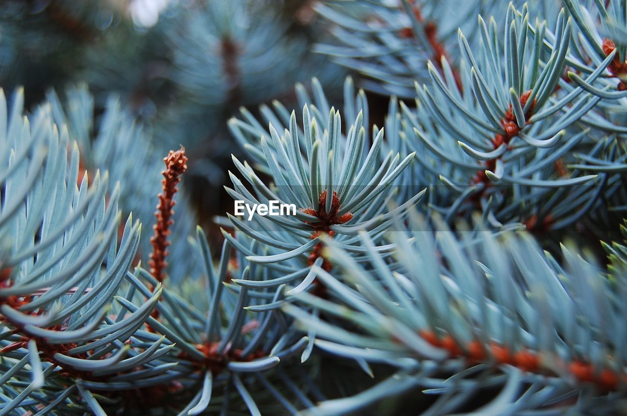 plant, selective focus, growth, close-up, no people, tree, beauty in nature, pine tree, branch, day, nature, needle - plant part, full frame, coniferous tree, focus on foreground, backgrounds, outdoors, green color, tranquility, plant part
