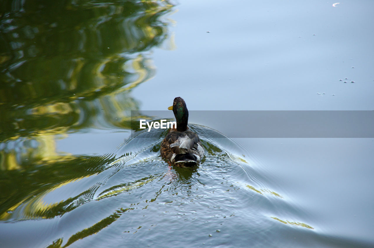animal themes, animals in the wild, one animal, water, animal wildlife, bird, waterfront, lake, nature, swimming, day, no people, outdoors, water bird, beauty in nature, close-up