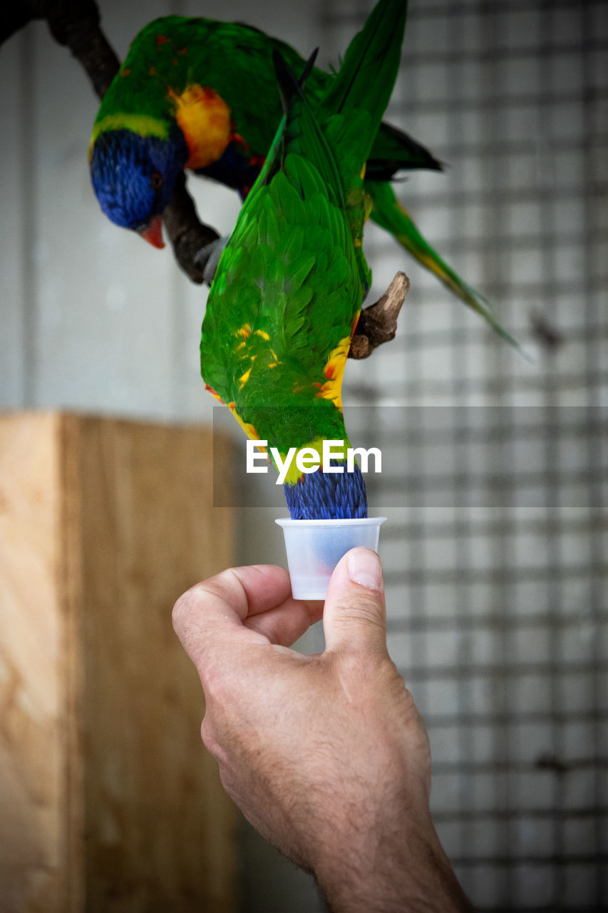human hand, parrot, bird, hand, holding, one person, vertebrate, real people, multi colored, human body part, animal wildlife, one animal, lifestyles, feeding, perching, focus on foreground, animals in the wild, rainbow lorikeet, finger