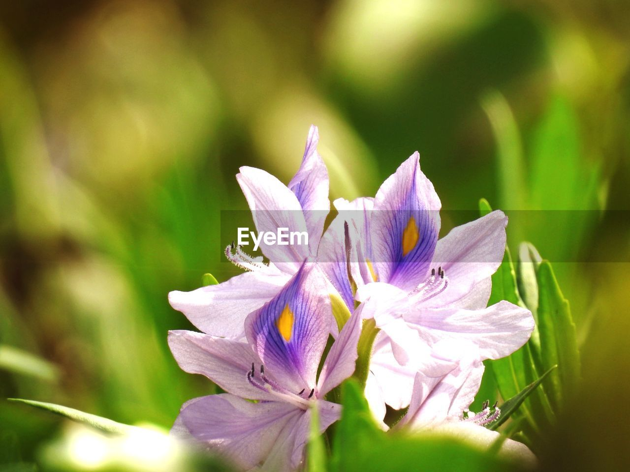 flower, flowering plant, plant, vulnerability, freshness, fragility, beauty in nature, petal, growth, close-up, flower head, inflorescence, selective focus, day, no people, nature, purple, outdoors, sunlight