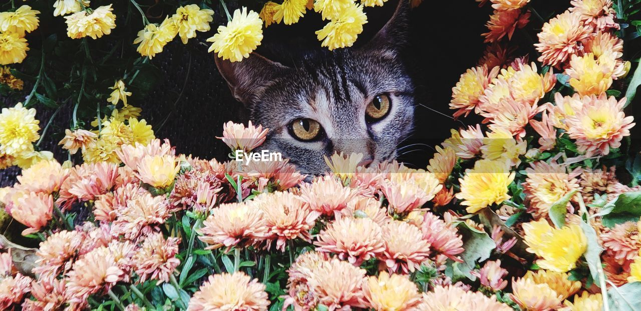 flowering plant, domestic animals, mammal, flower, pets, domestic, one animal, cat, domestic cat, feline, animal, animal themes, plant, vertebrate, looking at camera, freshness, vulnerability, close-up, fragility, nature, no people, flower head, whisker, animal head, flower arrangement, bouquet