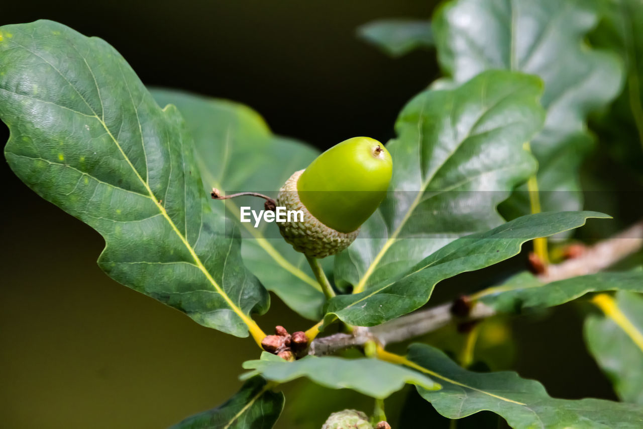 plant part, leaf, green color, growth, food, food and drink, plant, fruit, close-up, nature, healthy eating, no people, day, beauty in nature, freshness, selective focus, animal themes, animal, animal wildlife, outdoors, leaves