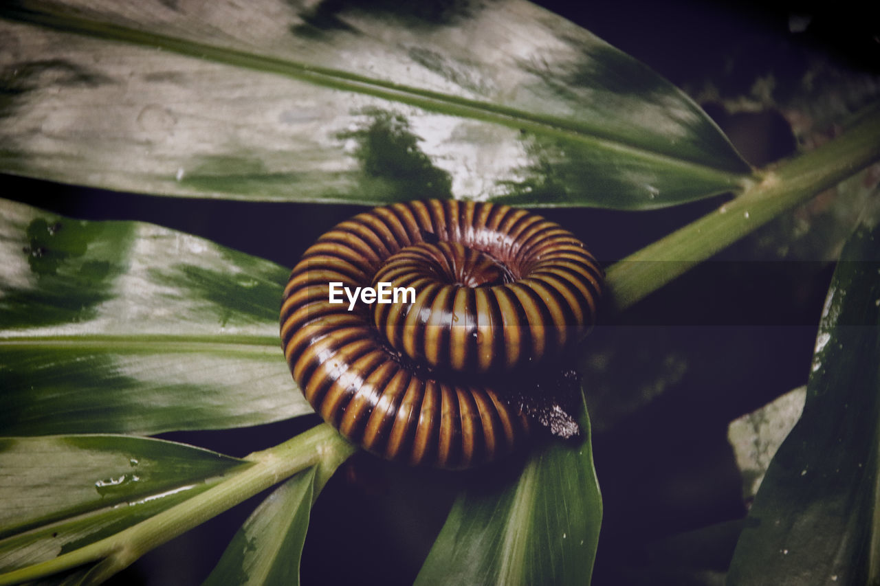 Close up of asian giant millipede on leaves