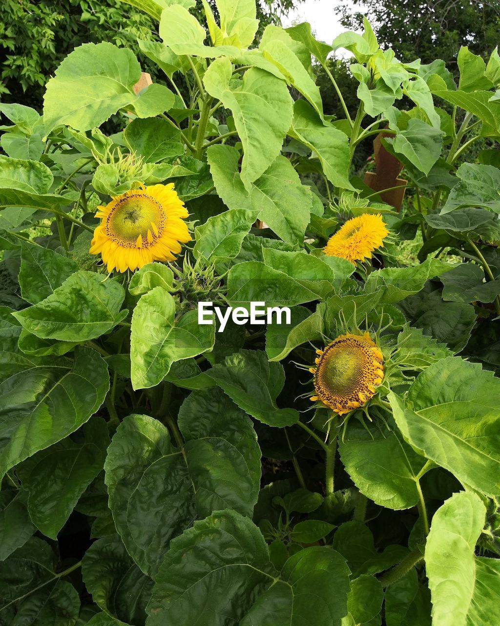 flower, plant, flowering plant, yellow, growth, freshness, plant part, leaf, fragility, beauty in nature, flower head, vulnerability, inflorescence, green color, close-up, nature, petal, day, no people, outdoors, sunflower