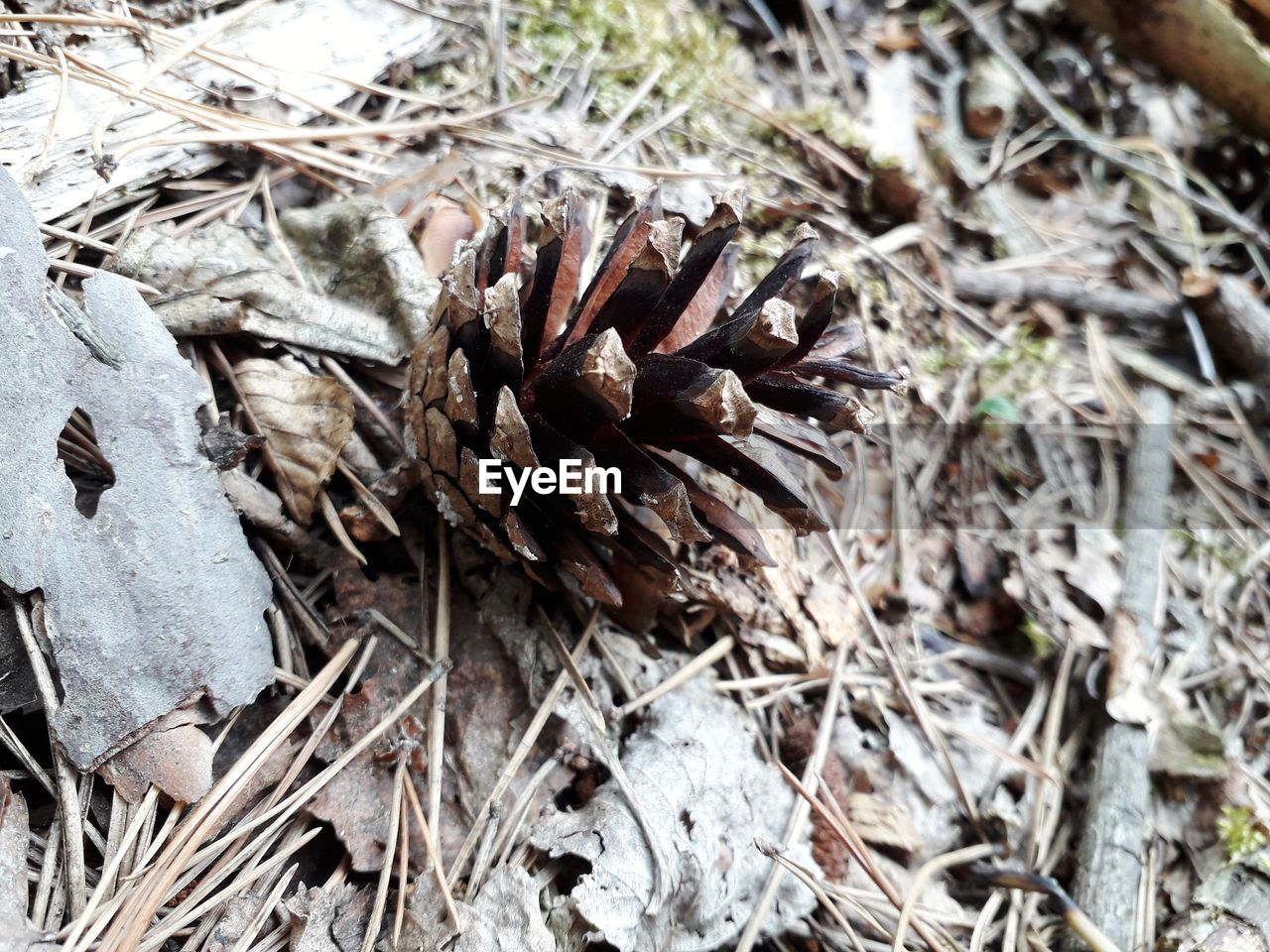 close-up, land, day, pine cone, dry, nature, field, no people, selective focus, plant, high angle view, focus on foreground, outdoors, brown, sunlight, twig, tree, falling, forest, leaf, coniferous tree, dried