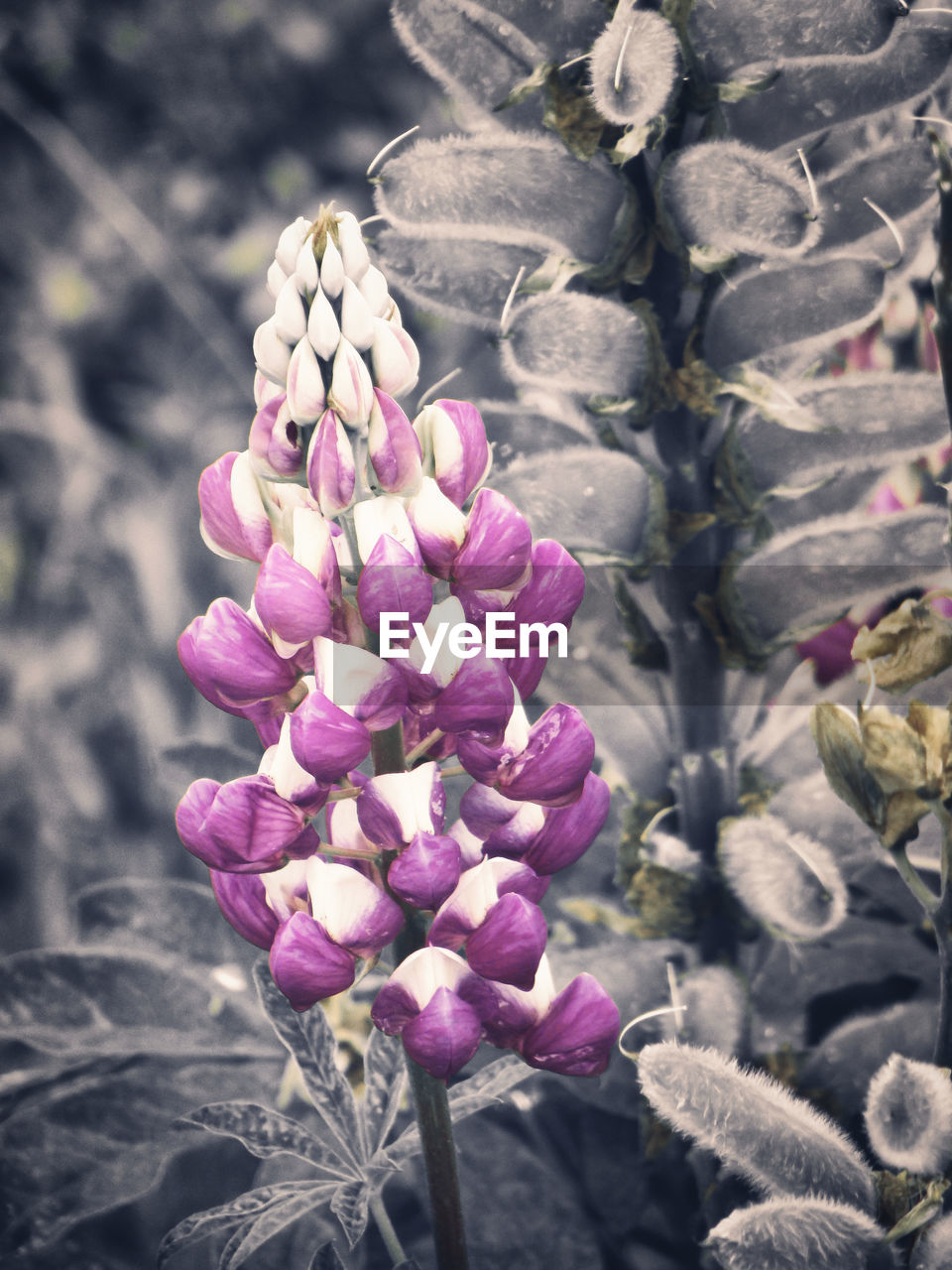 flower, flowering plant, plant, beauty in nature, fragility, vulnerability, freshness, nature, growth, close-up, purple, day, petal, no people, sunlight, inflorescence, flower head, focus on foreground, outdoors, botany, lilac