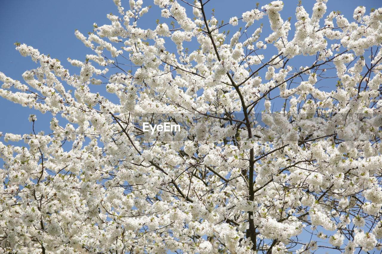 flower, blossom, springtime, fragility, beauty in nature, tree, freshness, branch, nature, cherry blossom, apple blossom, low angle view, white color, apple tree, growth, botany, cherry tree, orchard, almond tree, no people, day, twig, petal, outdoors, backgrounds, close-up, flower head, clear sky, sky