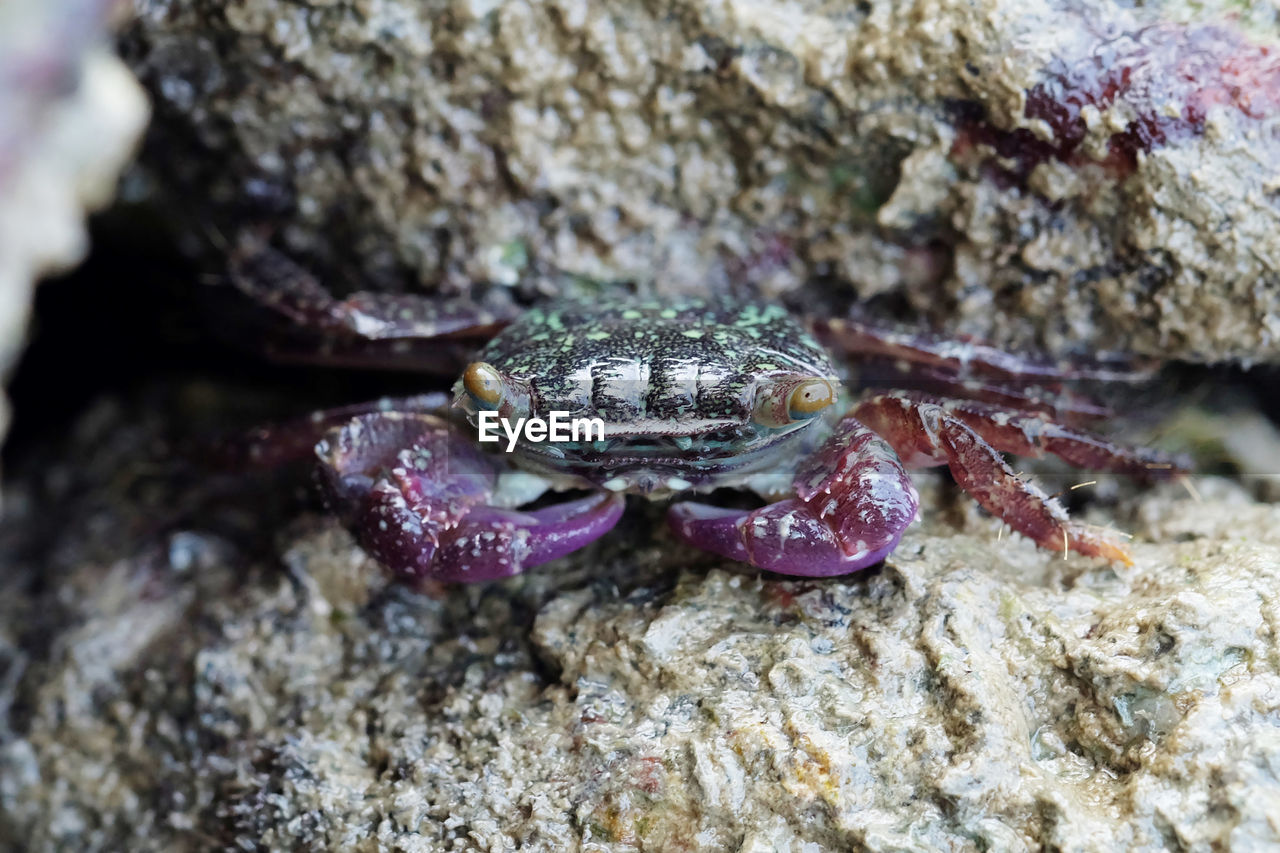 animal wildlife, animals in the wild, animal themes, animal, one animal, close-up, sea, nature, crab, marine, rock, sea life, solid, rock - object, no people, day, crustacean, underwater, outdoors, water, animal eye