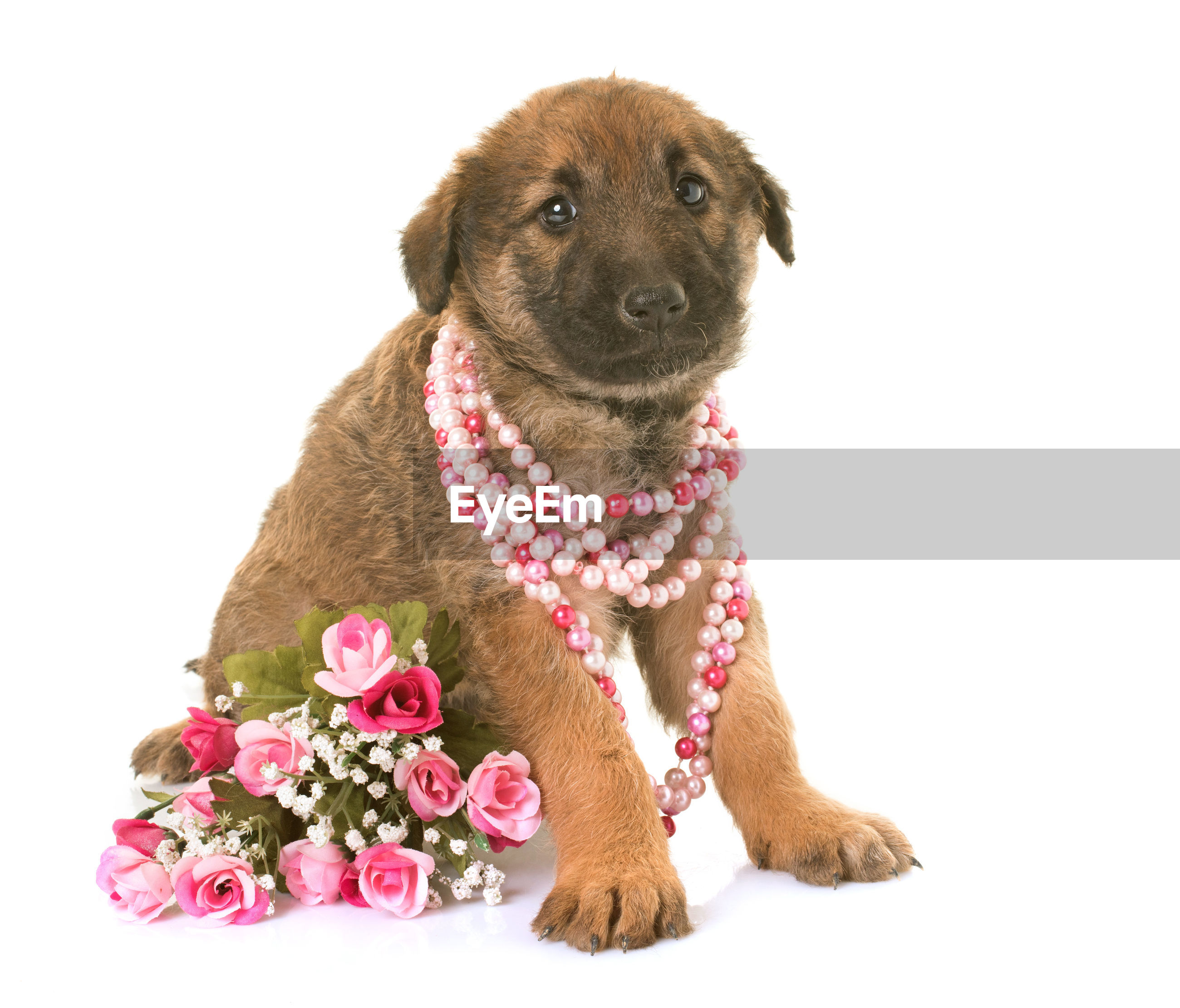 Portrait Of Brown Puppy Wearing Pearl Necklace Over White Background