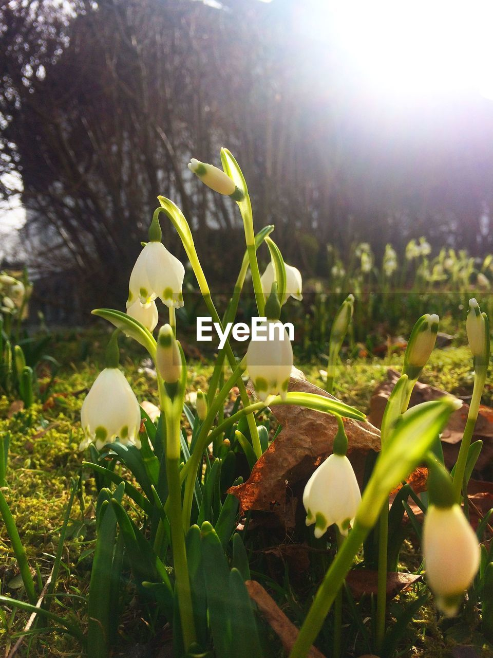 growth, nature, beauty in nature, flower, plant, freshness, snowdrop, fragility, no people, outdoors, close-up, sunlight, green color, day, springtime, grass, blooming, flower head, crocus