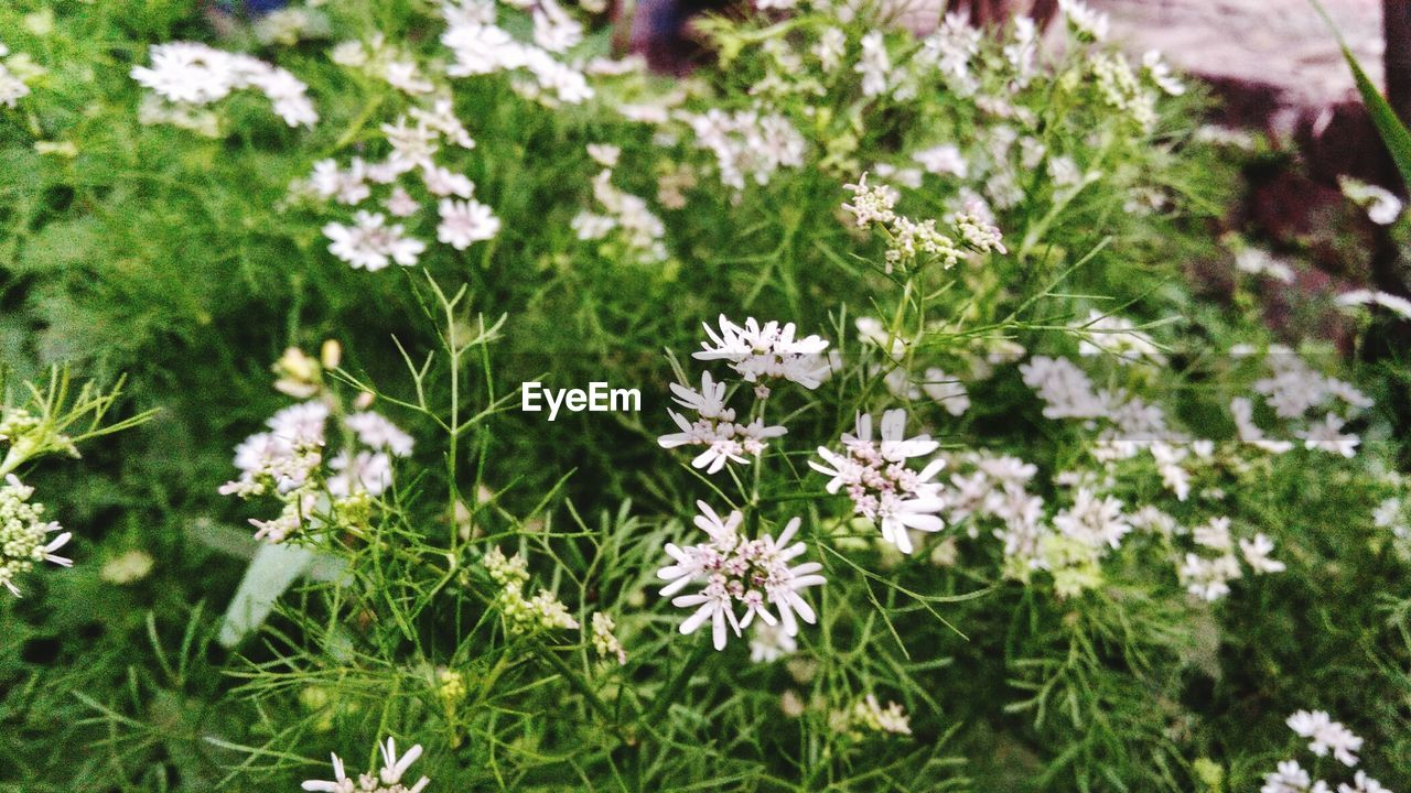 flower, nature, growth, fragility, plant, white color, beauty in nature, day, petal, no people, outdoors, freshness, flower head, focus on foreground, field, blooming, close-up, grass